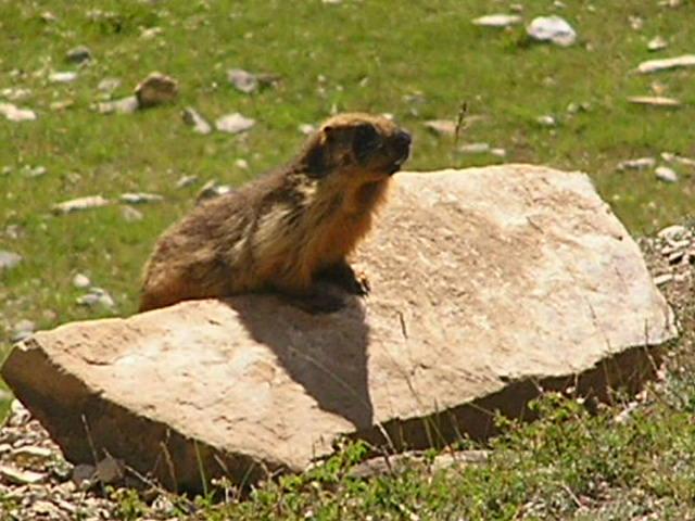 Marmot on the Zoji La